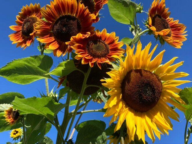 Willkommen Herbst - Sonnenblumen