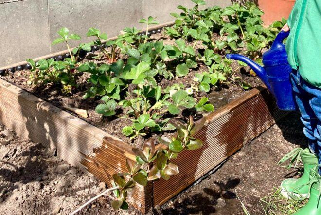 Ein Erdbeerbeet für kleine Gartenentdecker