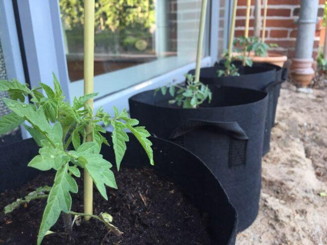 Gemüse im Topf anbauen - Tomatenpflanzen im Pflanzsack